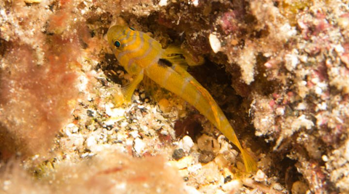F12_Priolepis ascensionis © Marine Section St Helena Government.jpg