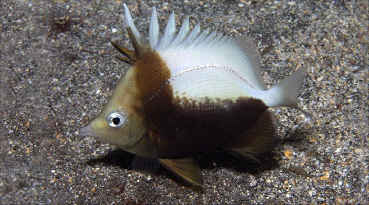 St. Helena Fish Species