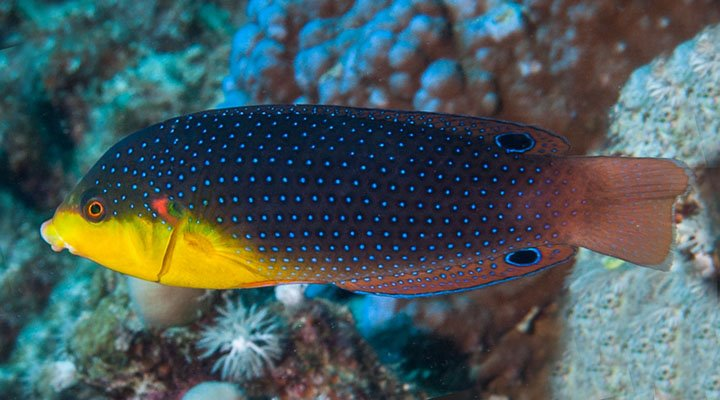 Anampses twistii ~120mm Marsa Alam Egypt Yellow-breasted wrasse Francois Libert.jpg