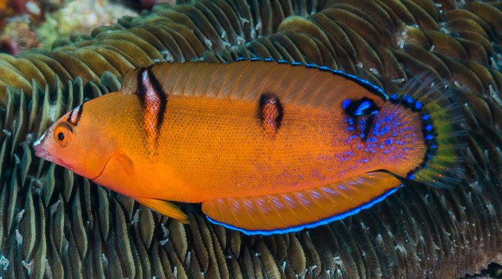 Coris gaimard juvenile ~120mm Pura Island Indonesia Yellowtail coris Francois Libert.jpg