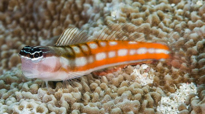 Ecsenius bathi Ternate Island Indonesia Bath's Coralblenny orange stripes form Francois Libert.jpg