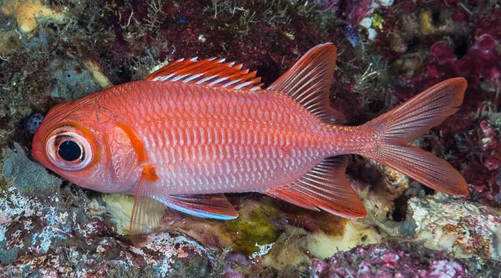 Myripristis vittata ~150mm Kumba Island Indonesia Whitetip soldierfish with night colors Francois Libert.jpg