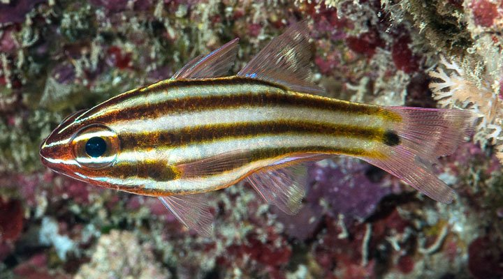 Ostorhinchus angustatus ~80mm Ternate Indonesia Striped Cardinalfish Francois Libert.jpg