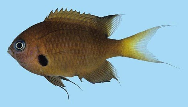 Chromis agilis_Rick Winterbottom.JPG