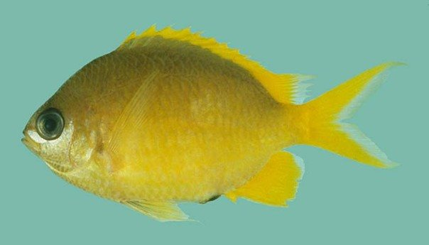 Chromis analis_Rick Winterbottom.JPG
