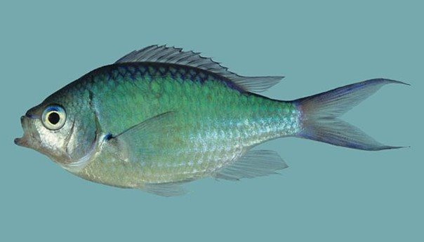 Chromis atripectoralis_Rick Winterbottom.JPG