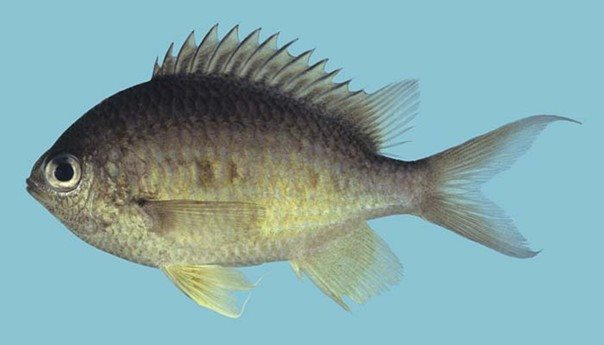 Chromis cinerascens_Rick Winterbottom.JPG