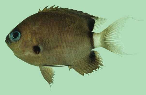 Chromis delta_Rick Winterbottom.JPG