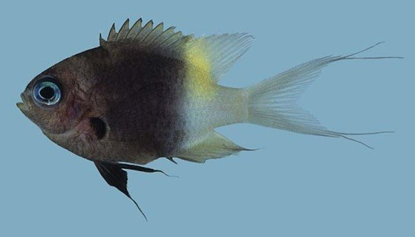 Chromis dimidiata_Rick Winterbottom.JPG