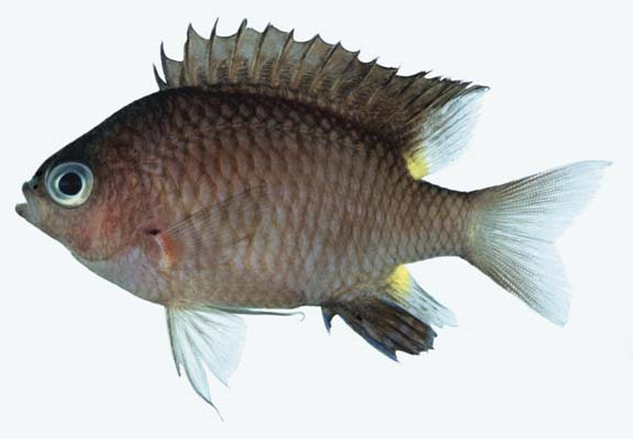 Chromis elerae_Rick Winterbottom.JPG