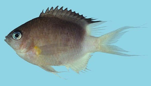 Chromis flavipectoralis_Rick Winterbottom.JPG