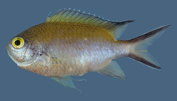 Chromis fumea_Rick Winterbottom.JPG