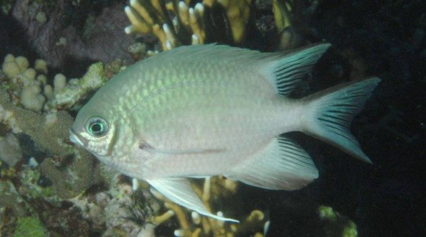 Amblyglyphidodon indicus - Red Sea - Dennis Polack.jpg