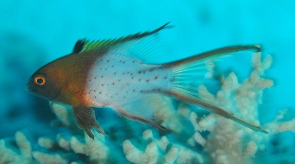 Bodianus anthioides juvenile - Red Sea - Dennis Polack.jpg