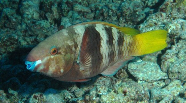 Chlorurus ferrugineus intermediate - Red Sea - Dennis Polack.jpg