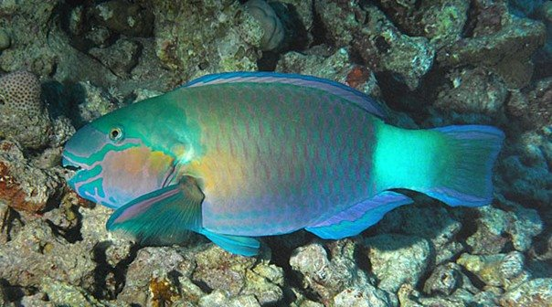 Chlorurus sordidus Male - Red Sea - Dennis Polack.jpg
