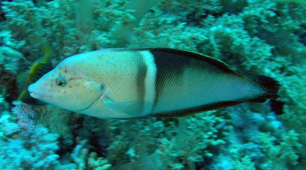 Coris aygula female - Red Sea - Dennis Polack.jpg