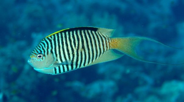 Genicanthus caudovittatus male - Red Sea - Dennis Polack.jpg