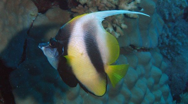 Heniochus intermedius - Red Sea - Dennis Polack.jpg