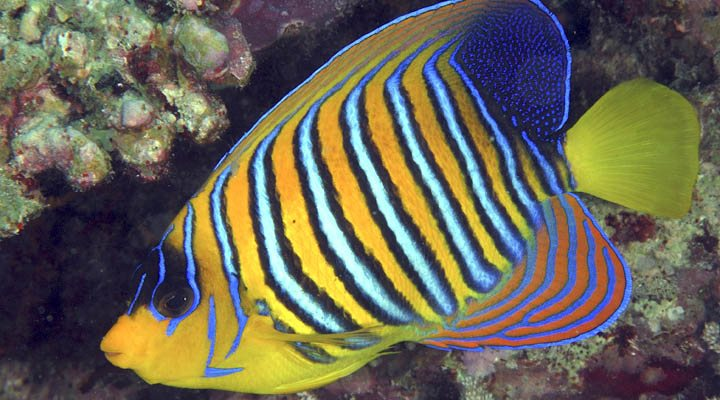 Pygoplites diacanthus20mm Camilla Floros Red Sea.jpg