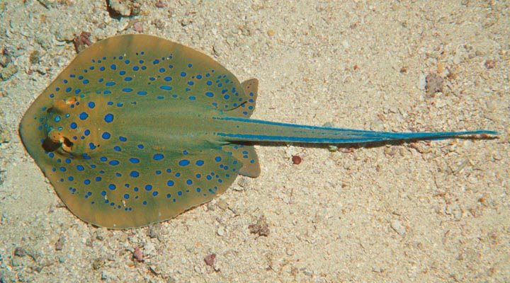Taeniura lymma ~60mm Egypt Red sea Fury shoal, Sha'ab claudia April 2004 Rokus Groeneveld Blue spotted stingray.jpg