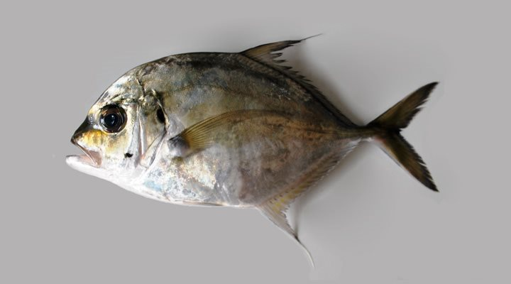 Carangoides talamparoides 175 SL Off Quilon Bineesh India.jpg