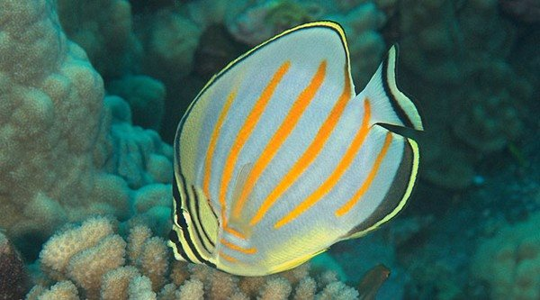 Chaetodon ornatissimus 90mm Hawaii Kona May 2010, Jonathan Lavan, 10 meters, Ornate Butterflyfish.jpg