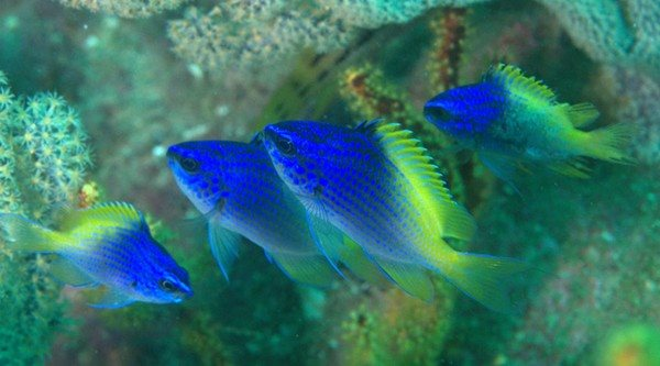 Chromis limbaughi 140mm Sea of Cortez October 2010, Jonathan Lavan, 17 meters, Blue-and-Yellow Chromis.jpg
