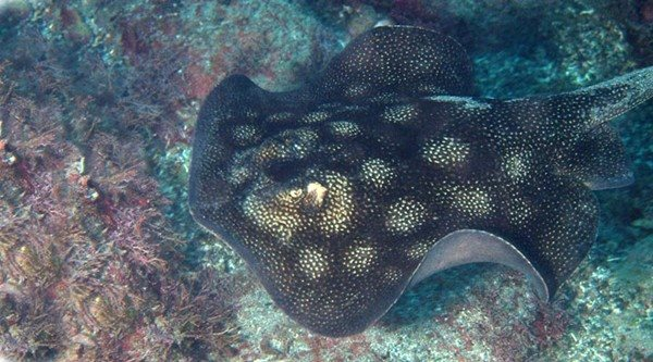 Urobatis halleri 400mm Sea of Cortez October 2010, Jonathan Lavan, 10 meters, Round Stingray.jpg