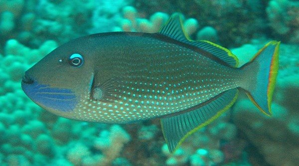 Xanthichthys auromarginatus 230mm Hawaii Kona May 2010, Jonathan Lavan 15 meters Gilded Triggerfish.jpg
