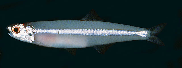 Stolephorus waitei | Picture | FishWise Pro
