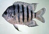 Abudefduf bengalensis - Jack Randall