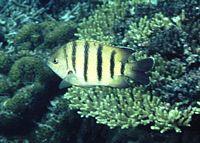 Abudefduf bengalensis - D. C. Cook