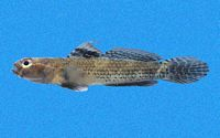 Aboma etheostoma - Ross Robertson