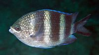 Abudefduf natalensis - Dennis Polack