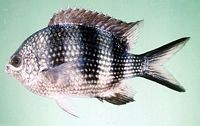 Abudefduf natalensis - Jack Randall