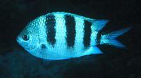 Abudefduf natalensis - Sally Polack