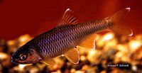 Cyprinella spiloptera - The Native Fish Conservancy