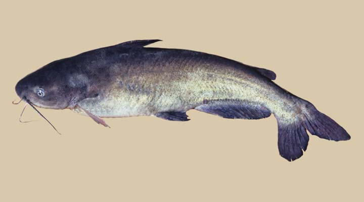Ictaluridae image